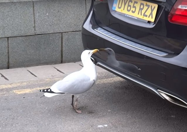 Seagull Can't Stay Cool Upon Seeing Its Own Reflection