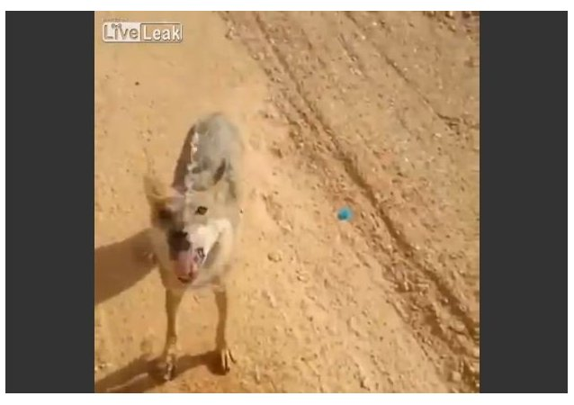 A man gives water to desert wolf
