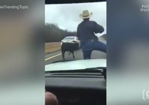 Wild West! Tennessee sheriff cowboy lassoes runaway calf from police car. Viral video