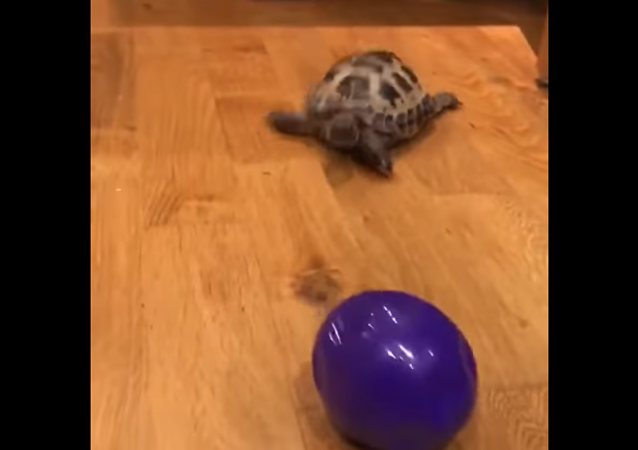 Tortoise Channels Inner Canine Instincts