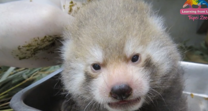 One Month Old Baby Red Pandas
