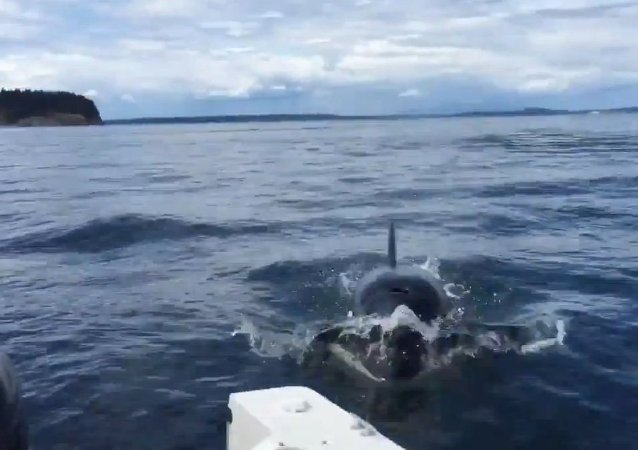 Killer whale nearly jumps into boat off BC coast