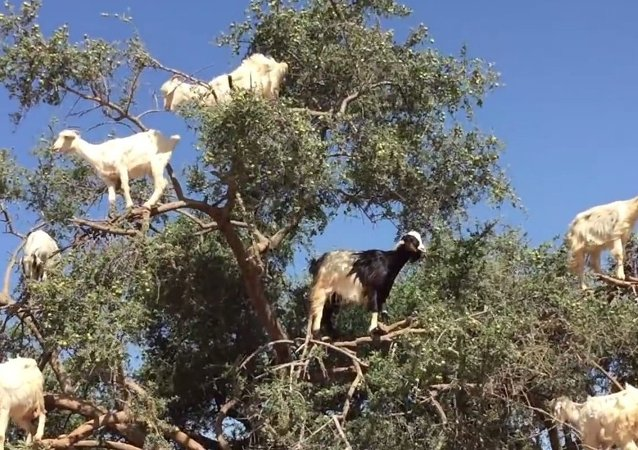 Goats Grow on Trees?