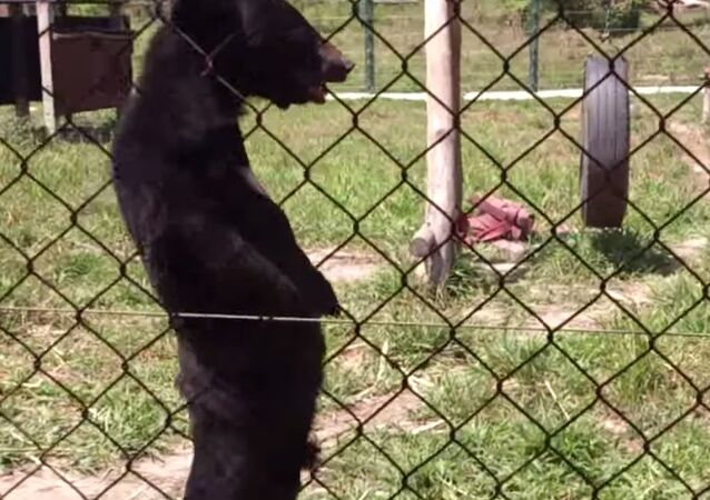 Bear Walks on Two Legs Like a Human