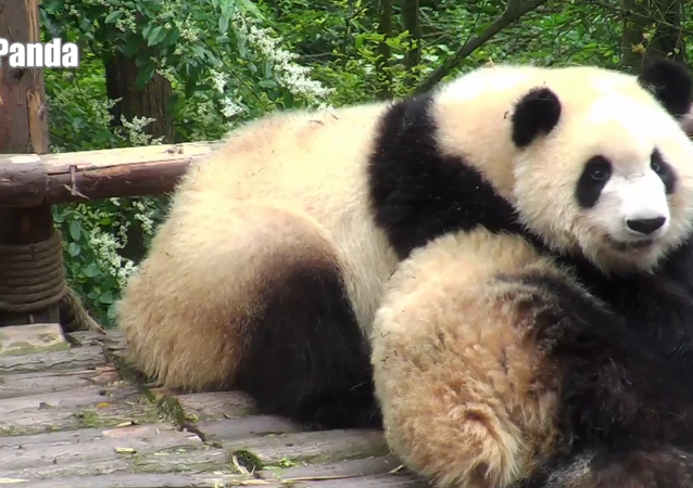 Who wants a panda wake-up call?