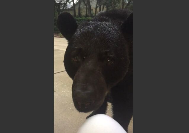 Face-to-Face With Monster Black Bear