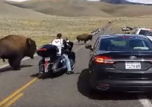 Yellowstone buffalo in rut, surrounds woman on motorcycle