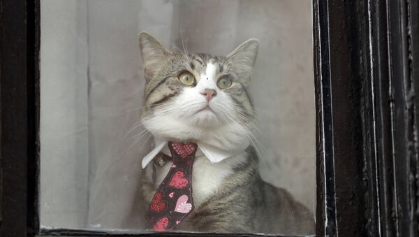 A cat dressed in a collar and tie looks out from a window of the Ecuadorian embassy in London - Sputnik Србија