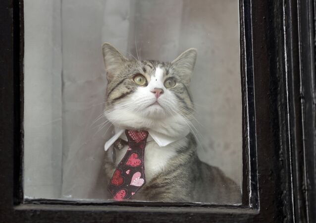 A cat dressed in a collar and tie looks out from a window of the Ecuadorian embassy in London