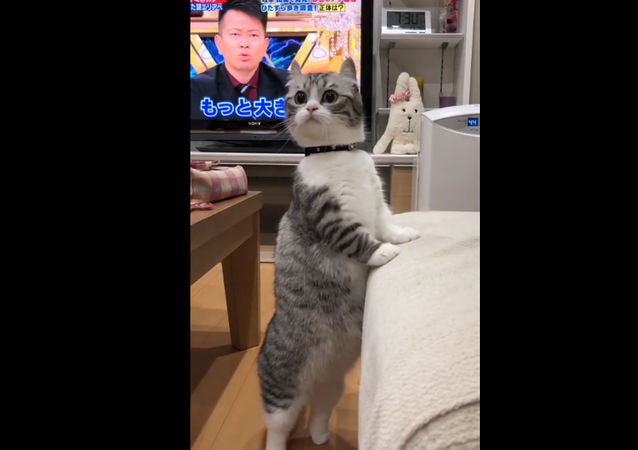 Cat standing like a human