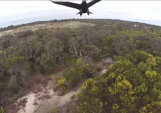 2m Wedge-Tailed Eagle takes down Drone